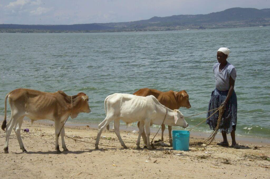 Photo of a woman with three cows on the beach